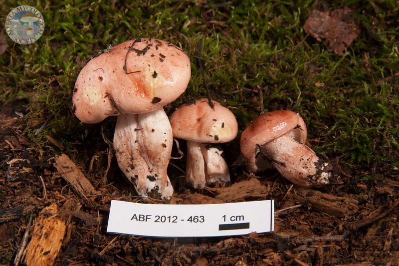 ABF-2012-463 Hygrophorus erubescens