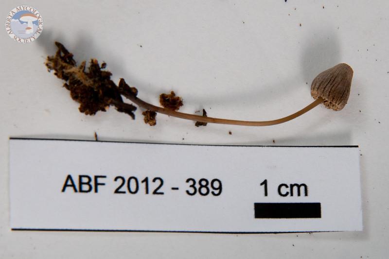 ABF-2012-389 Mycena galericulata