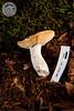 ABF-2012-371 Russula gilva