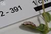 ABF-2012-391 Exobasidium vaccinii