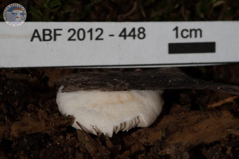 ABF-2012-448 Crepidotus ellipsoideus