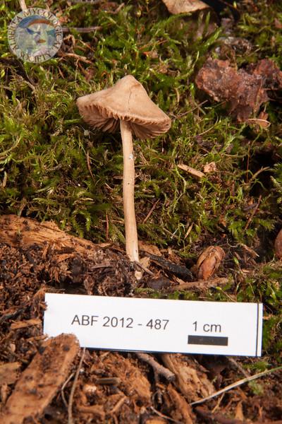 ABF-2012-487 Nolanea sp. ?