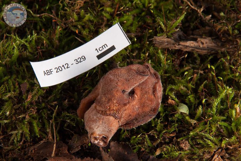 ABF-2012-329 Gyromitra infula