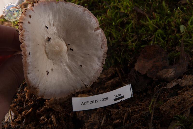 ABF-2012-335 Volvariella speciosa