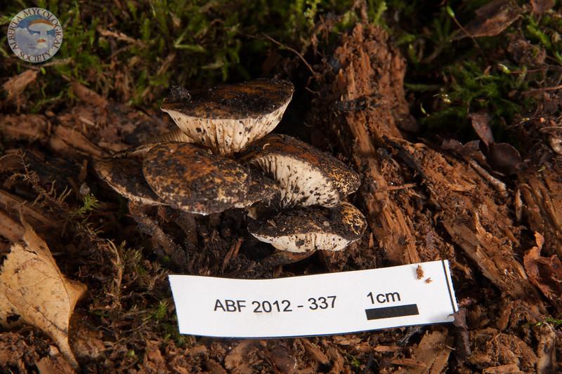ABF-2012-337 Flammulina velutipes