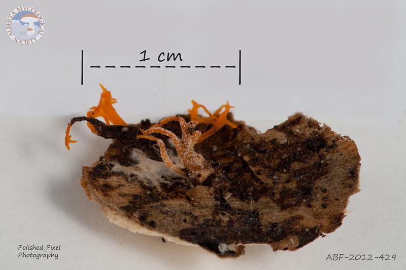 ABF-2012-429 Calocera viscosa