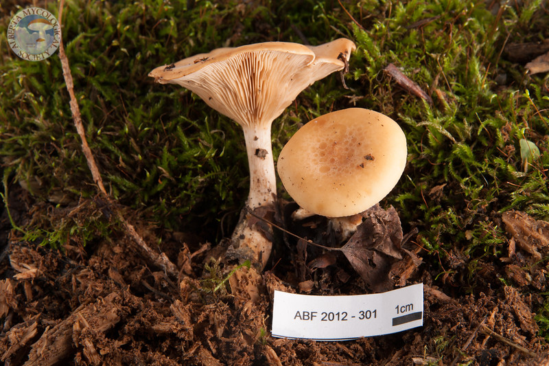 ABF-2012-301 Lepista gilva
