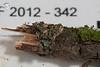 ABF-2012-342 Candelaria concolor