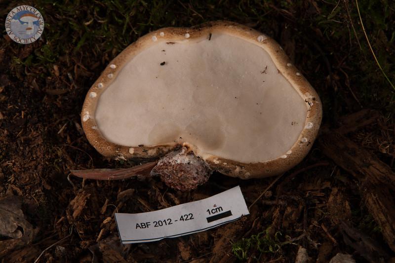 ABF-2012-422 Piptoporus betulinus