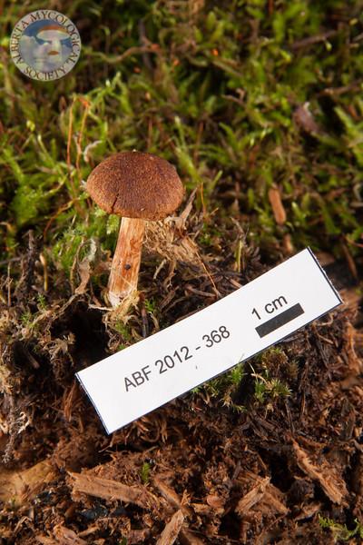 ABF-2012-368 Gymnopilus cf. decipiens