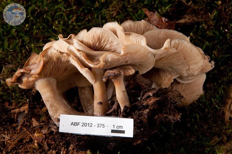 ABF-2012-375 Lyophyllum sp.