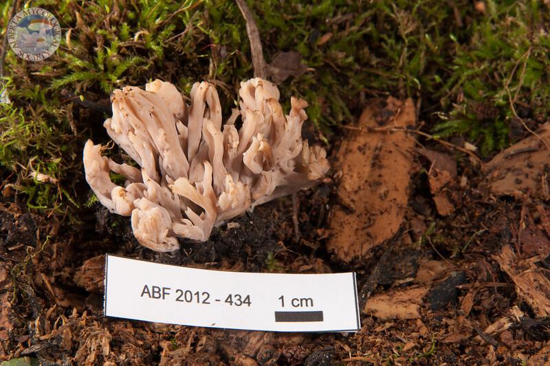 ABF-2012-434 Clavulina rugosa