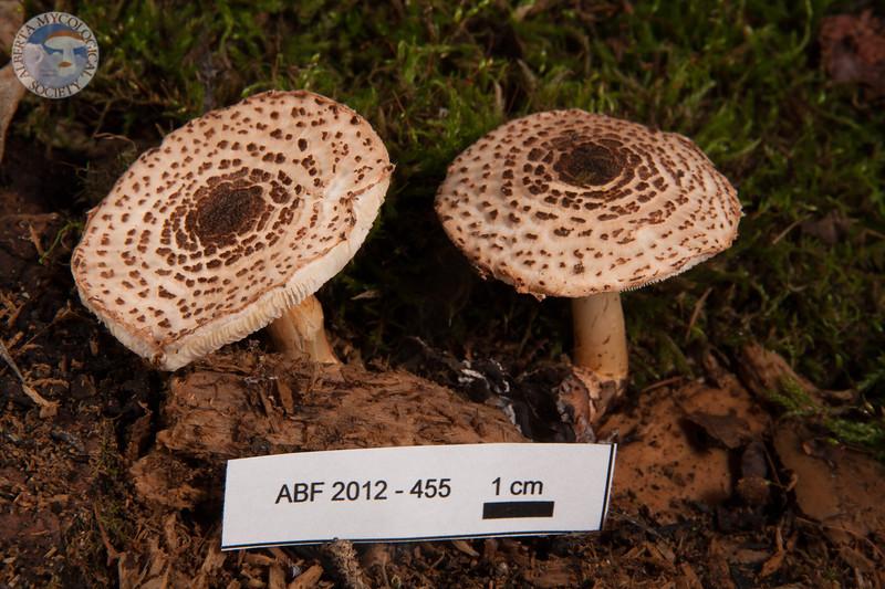 ABF-2012-455 Lepiota cortinarius