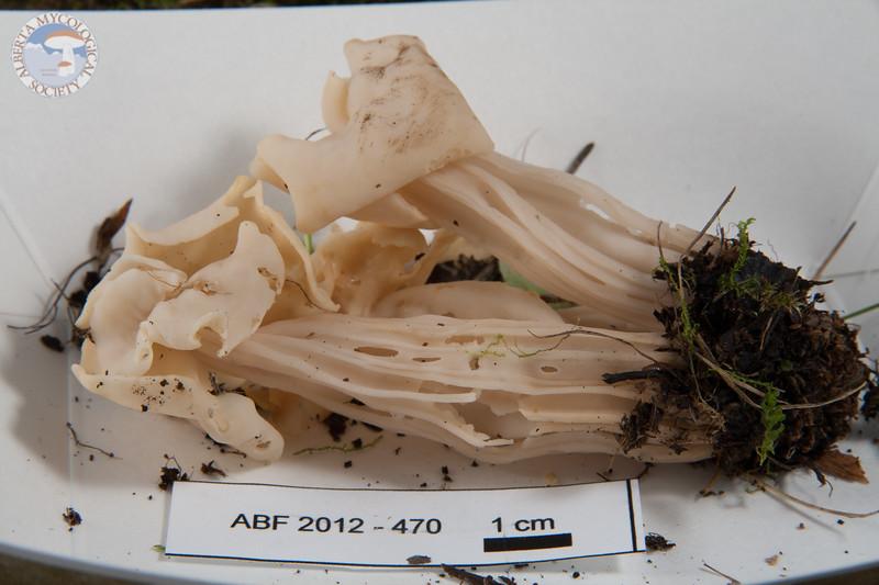 ABF-2012-470 Helvella crispa