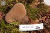 ABF-2012-456 Pseudohydnum gelatinosum