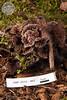 ABF-2012-467 Thelephora terrestris