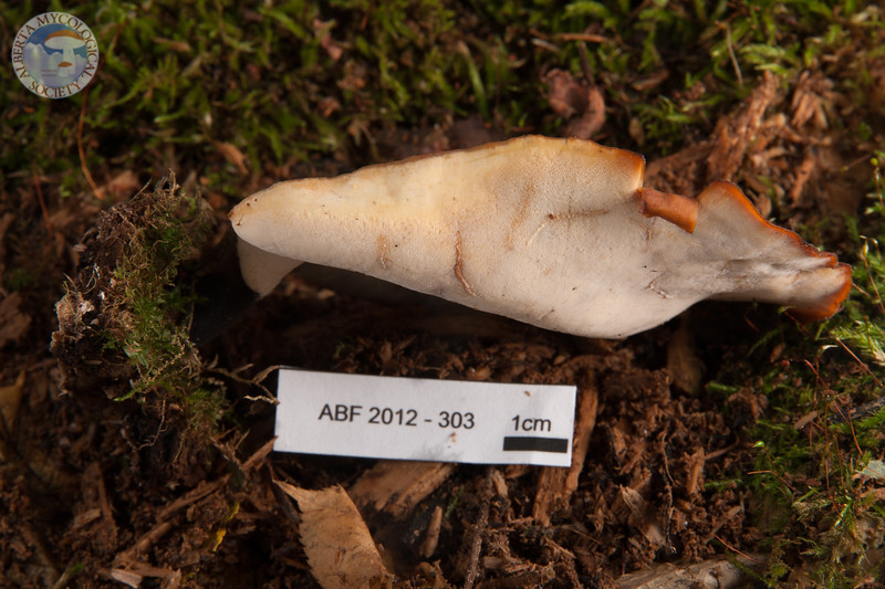 ABF-2012-303 Polyporus badius