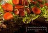 ABF-2012-nnn Scutellinia scutellata