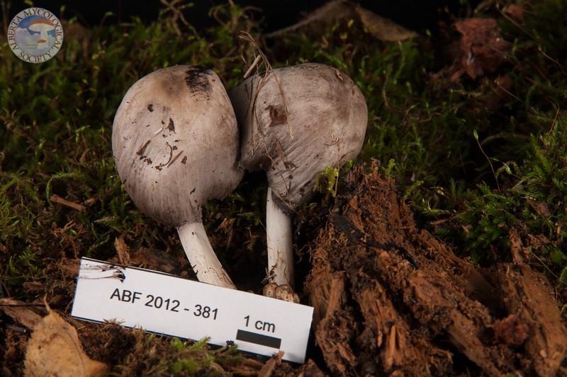 ABF-2012-381 Coprinus atramentarius