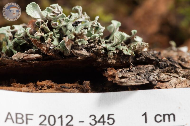 ABF-2012-345 Hypogymnia physodes