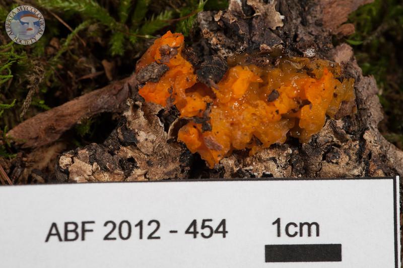 ABF-2012-454 Dacrymyces palmatus