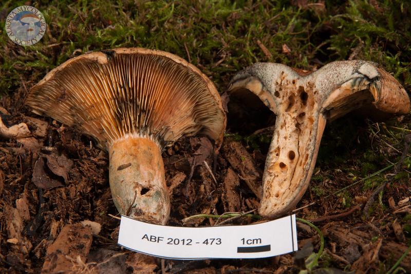 ABF-2012-473 Lactarius deliciosus