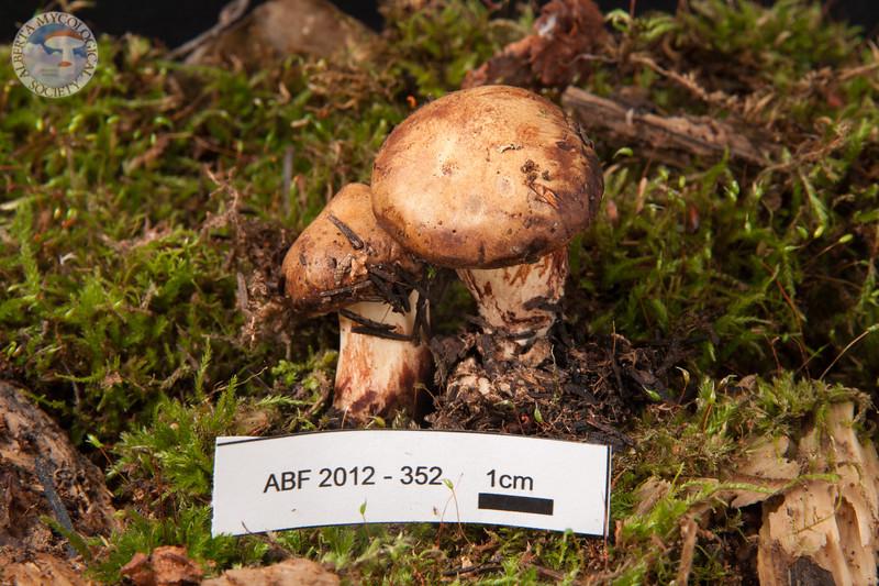 ABF-2012-352 Paxillus involutus