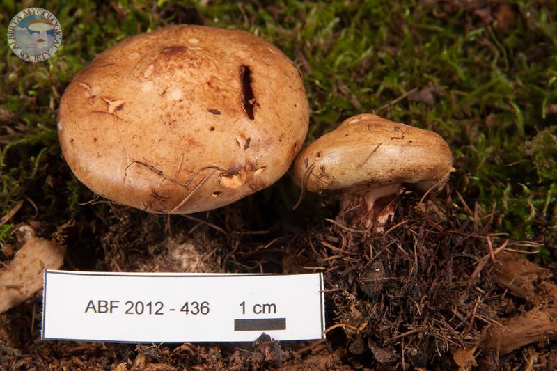 ABF-2012-436 Paxillus involutus