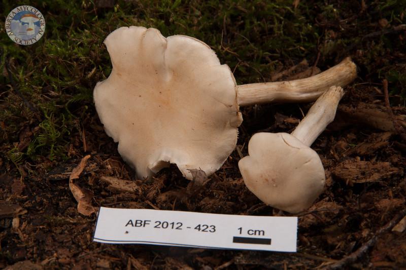 ABF-2012-423 Tricholoma inamoenum