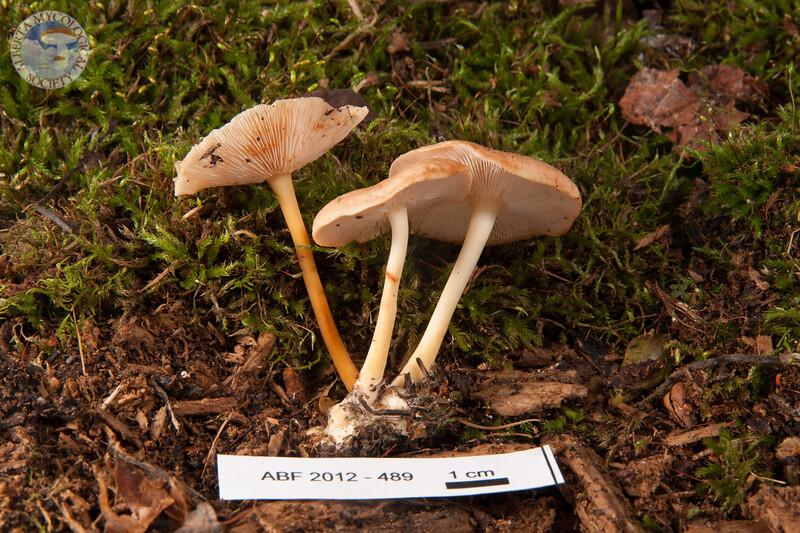 ABF-2012-489 Gymnopus dryophilus