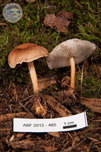 ABF-2012-485 Gymnopus dryophilus