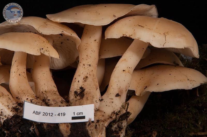 ABF-2012-419 Lyophyllum decastes