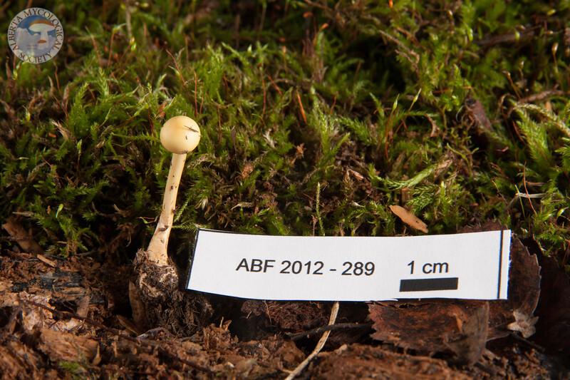 ABF-2012-289 Stropharia semiglobata
