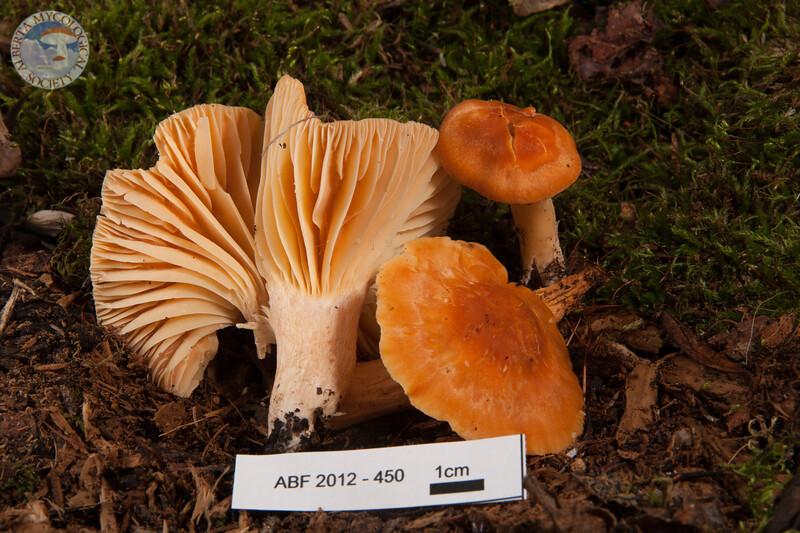 ABF-2012-450 Hygrophorus pratensis