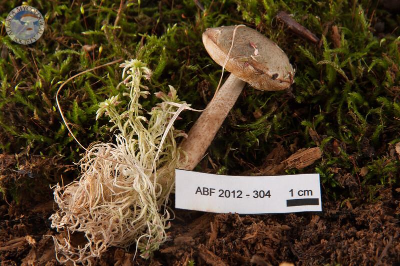 ABF-2012-304 Leccinum holopus var. americanum