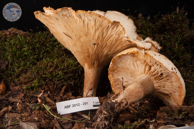 ABF-2012-291 Leucopaxillus giganteus