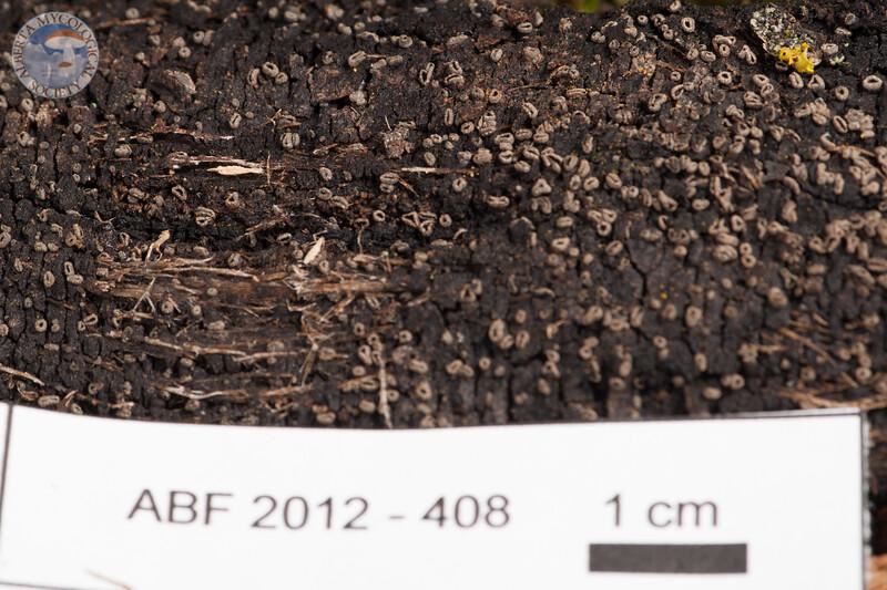 ABF-2012-408 Encoelia pruinosa
