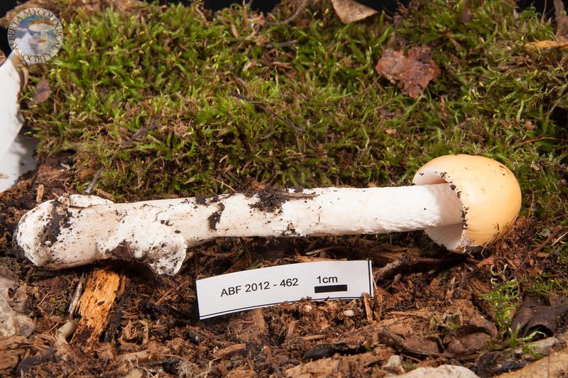 ABF-2012-462 Amanita fulva