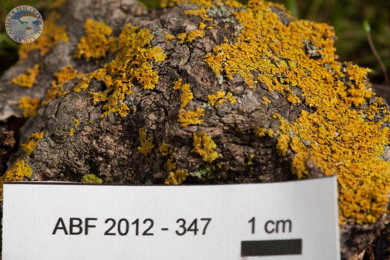ABF-2012-347 Xanthoria fallax