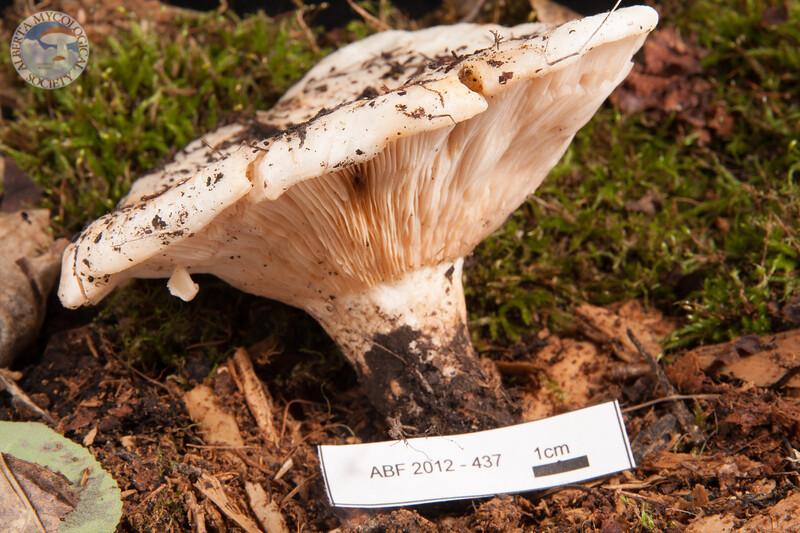 ABF-2012-437 Lactarius controversus