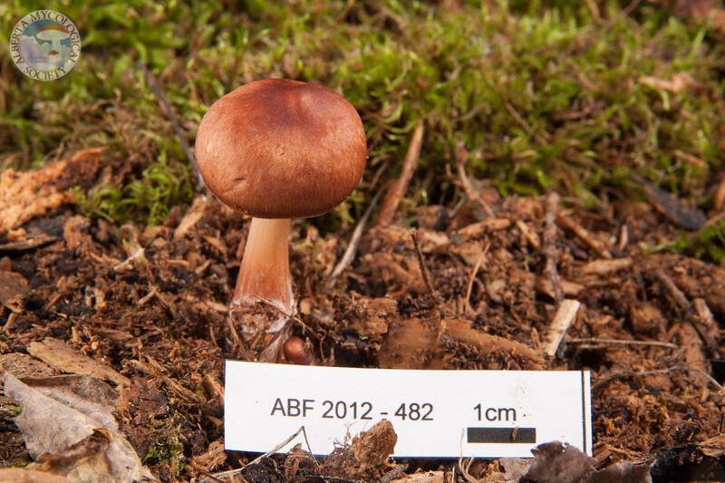 ABF-2012-482 Rhodocollybia butyracea