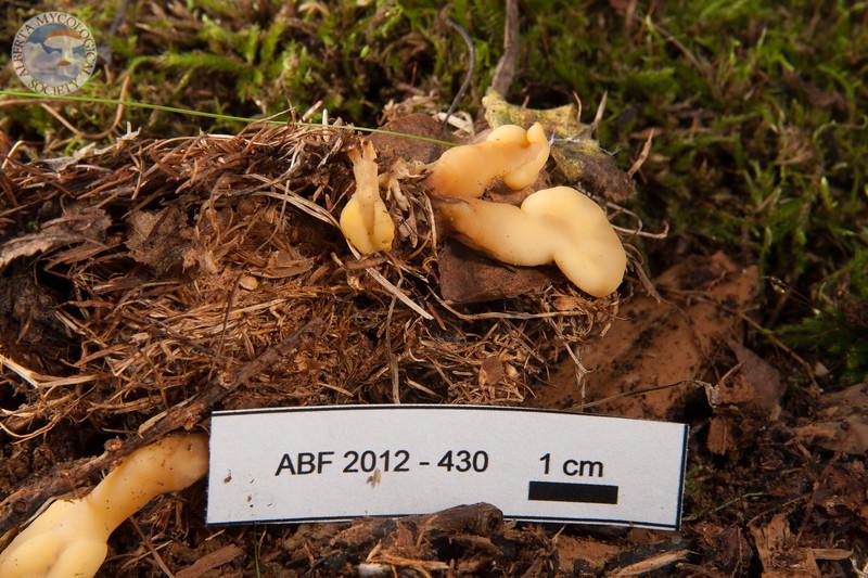 ABF-2012-430 Spathularia flavida