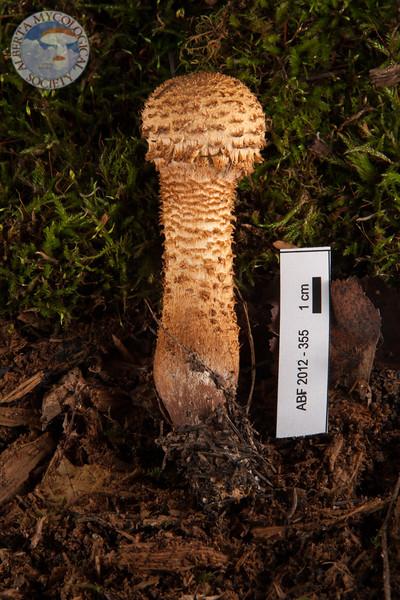 ABF-2012-355 Pholiotasquarrosa