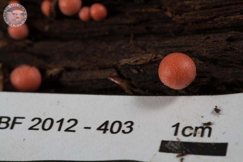 ABF-2012-403 Lycogala epidendrum