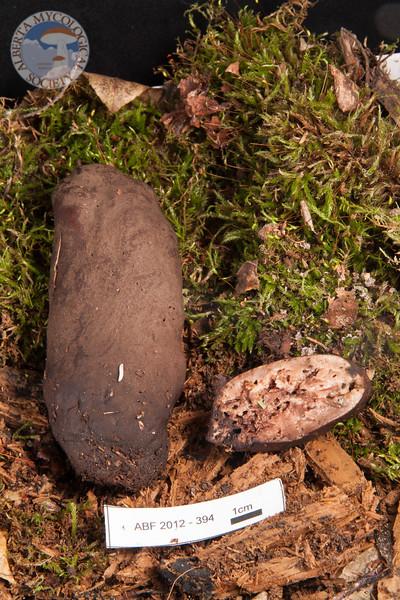 ABF-2012-394 Xylaria polymorpha cf.