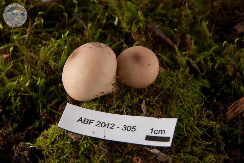 ABF-2012-305 Lycoperdon pyriforme