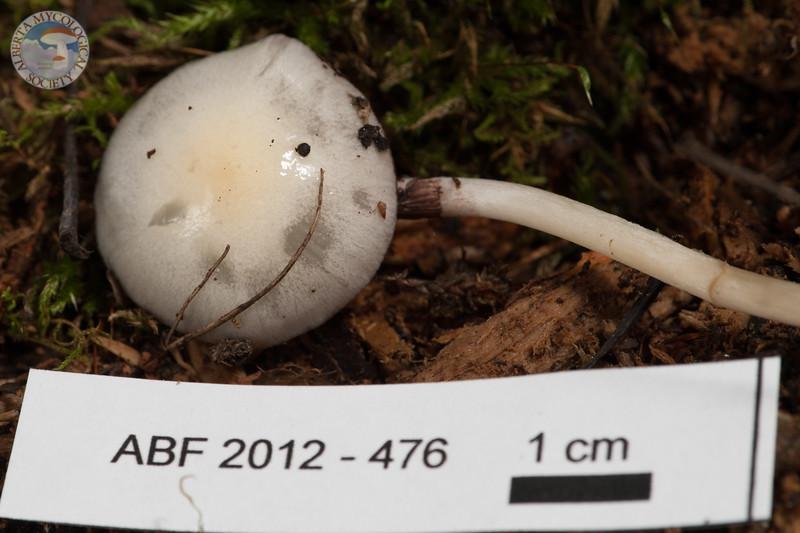 ABF-2012-476 Stropharia semiglobata