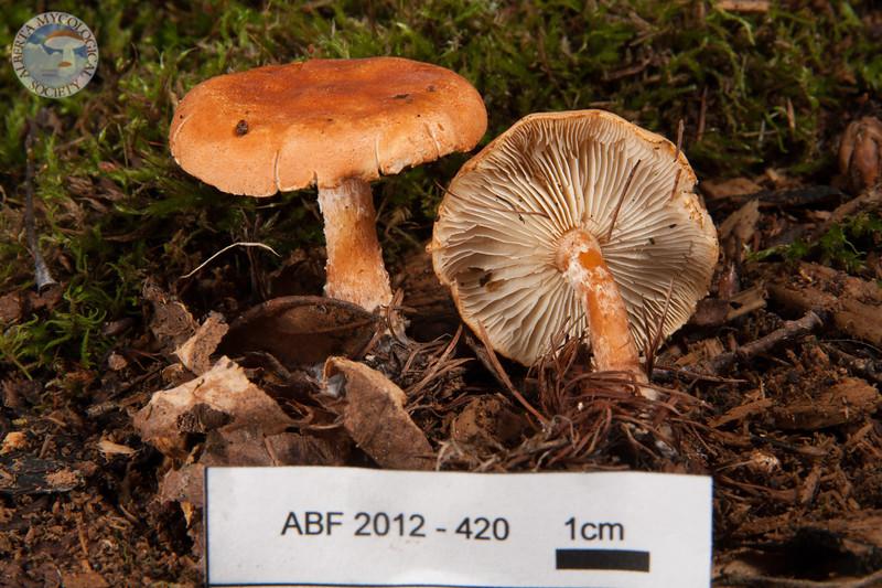 ABF-2012-420 Cystoderma cinnabarinum