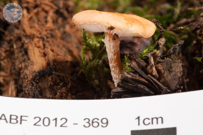 ABF-2012-369 Cystoderma cinnabarinum