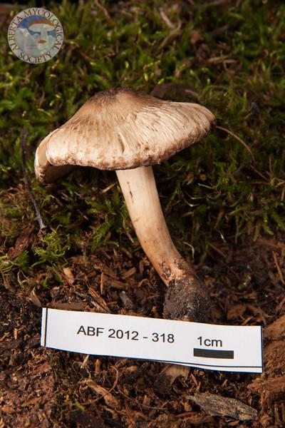 ABF-2012-318 Inocybe bongardii